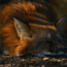sleeping beauty by Ruby Del Angel - Animals Other Mammals ( fox, nature, wildlife, sleeping, napping, animal )