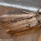 Wainscot ? Moth