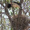 Pied Butcherbird (female with nest)