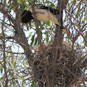 Pied Butcherbird (female with nest)