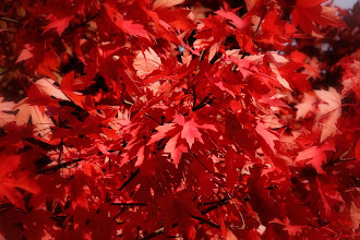 Photo: Scarlet Maple
