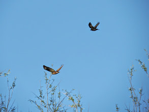Photo: Priorslee Lake A Crow in pursuit of a Buzzard. (Ed Wilson)