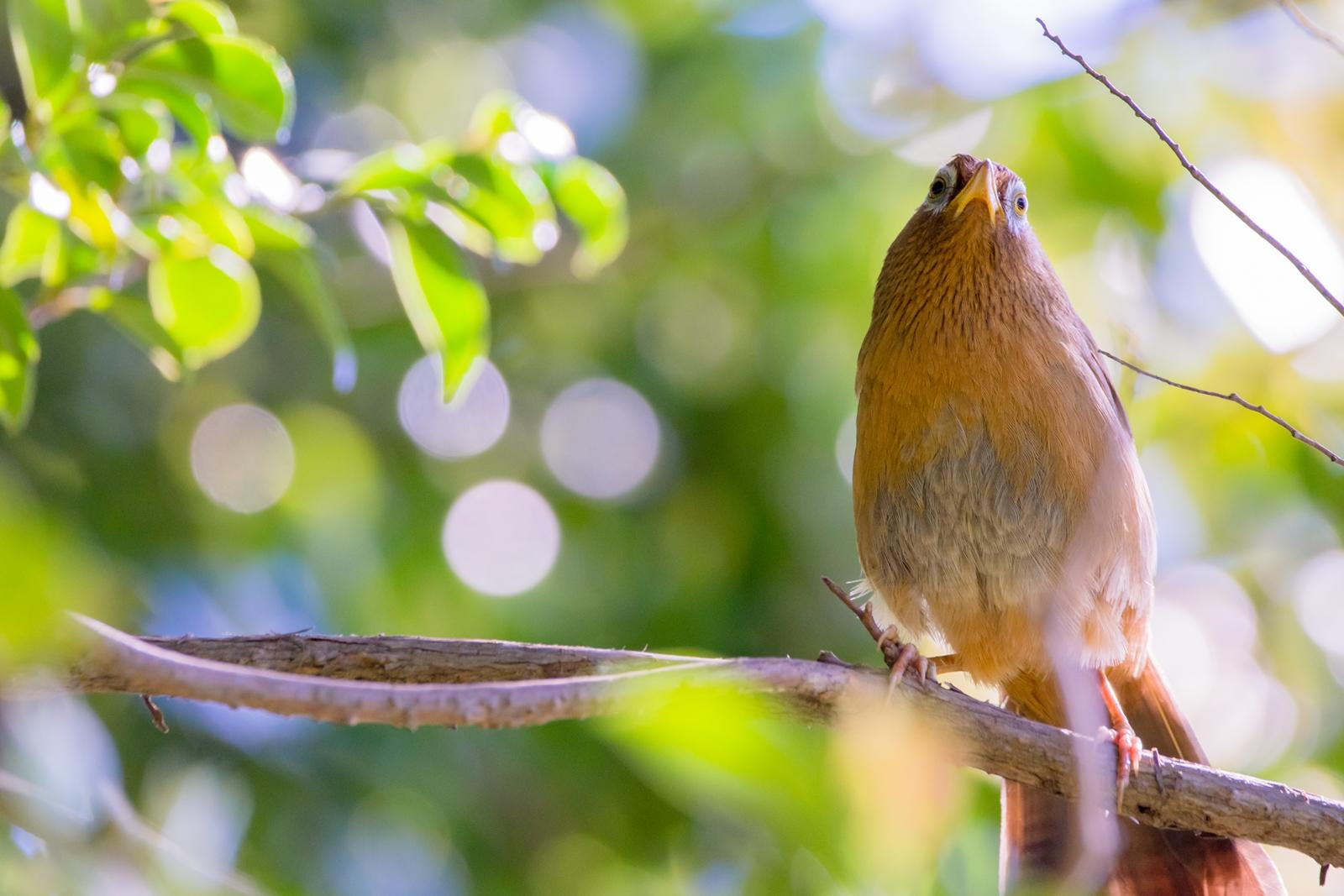 Photo: 「新緑のステージ」 / Stage of the fresh green.  光がそそぐ 心地よい光 さあ歌おうよ 新緑の歌を よろこびの歌を  Hwamei. (ガビチョウ)  Nikon D7200 SIGMA 150-600mm F5-6.3 DG OS HSM Contemporary  #birdphotography #birds #kawaii #ことり #小鳥 #nikon #sigma  ( http://takafumiooshio.com/archives/2454 )