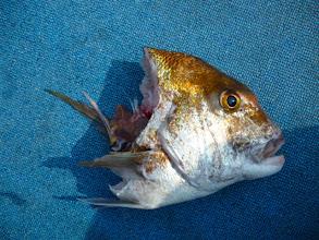 Photo: 首から下が、なーい! ギエー! サメの野郎に食われました!5kgはオーバーした真鯛でした。くっそー!