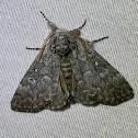 Close-banded yellowhorn moth