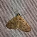 Freeman's Palpita Moth