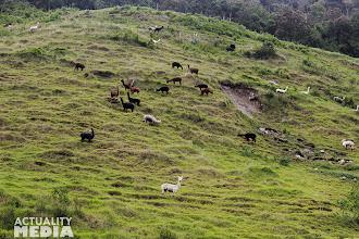 Photo: Alpacas on the farm in Sangay National Park