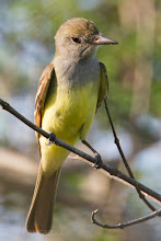 Photo: Great Crested Flycatcher