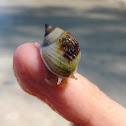 Nassa Mud Snail