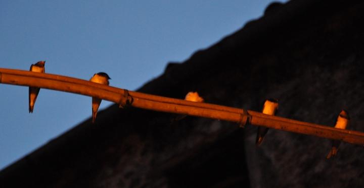 Orange birds di delinguenda