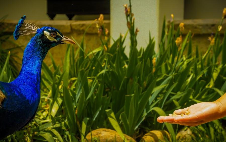 Peacock by Ravi Patel - Animals Birds