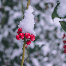 winter season  by Paul Voie - Nature Up Close Other plants ( red, close up, bokeh, winter, snowy,  )