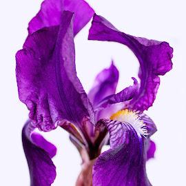 Iris by Susan Pretorius - Flowers Single Flower