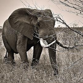 Tusker by Pieter J de Villiers - Black & White Animals