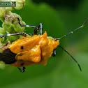 Orange Pentatomid bug.