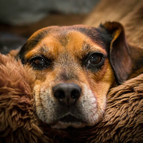 Comfy by Andrew Lawlor - Animals - Dogs Portraits ( canine, muzzle, ear, tired, sleepy, beagle, dog, cute, eyes,  )