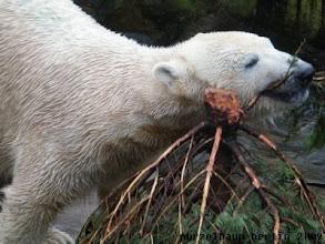 Photo: Knut hat Spass mit dem Tannenbaum :-)