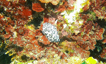 Photo: Black-spotted Nudibranch