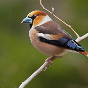 Hawfinch by Allan Wallberg - Animals Birds ( europe, light brown, wildlife, birds, nature, kernbeisser, animal, wild, sweden, beautiful, finch, forest, timid, portrait, bird, european, blue, dark brown, gray beak, strong, outdoor, songbird, hawfinch, garden, stenknäck, coccothraustes, steady,  )