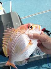 Photo: 初おろしの電動リール。 初魚は「レンコダイ」。 ・・・んー、微妙。