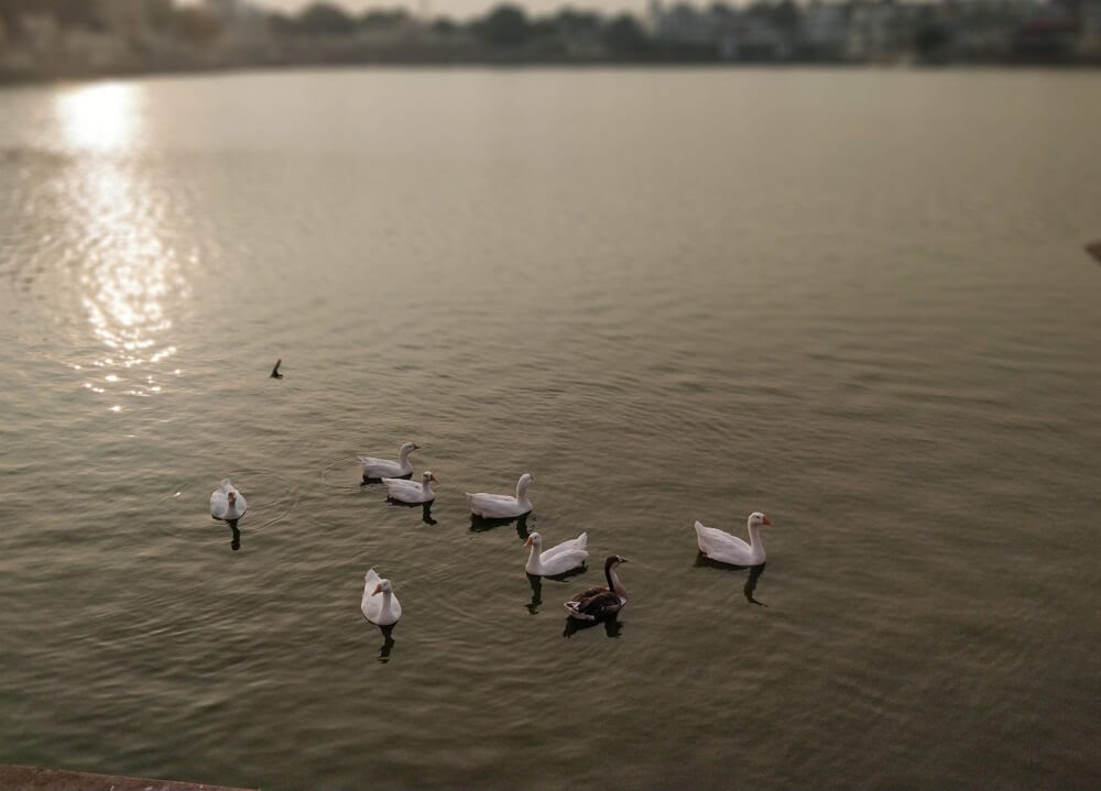 swans+pushkar+lake+evening+pushkar+rajasthan