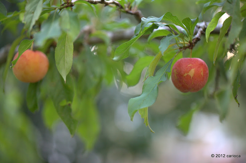 Photo: Remember our 'late, late' tropical plums? They put on a bit of colour, and, with a little luck, will actually ripen before winter proper...