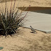 White Wing Dove & Red Tip Yucca