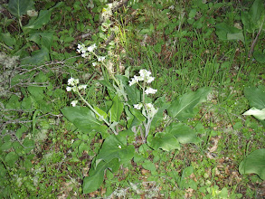 Photo: Hounds Tongue with white flowers - was told this is unusual.