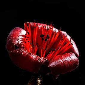 Bombax Ceiba by Jeremy Barton - Nature Up Close Flowers - 2011-2013 ( bombax ceiba )
