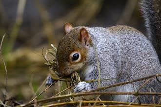 Photo: Grey Squirrel