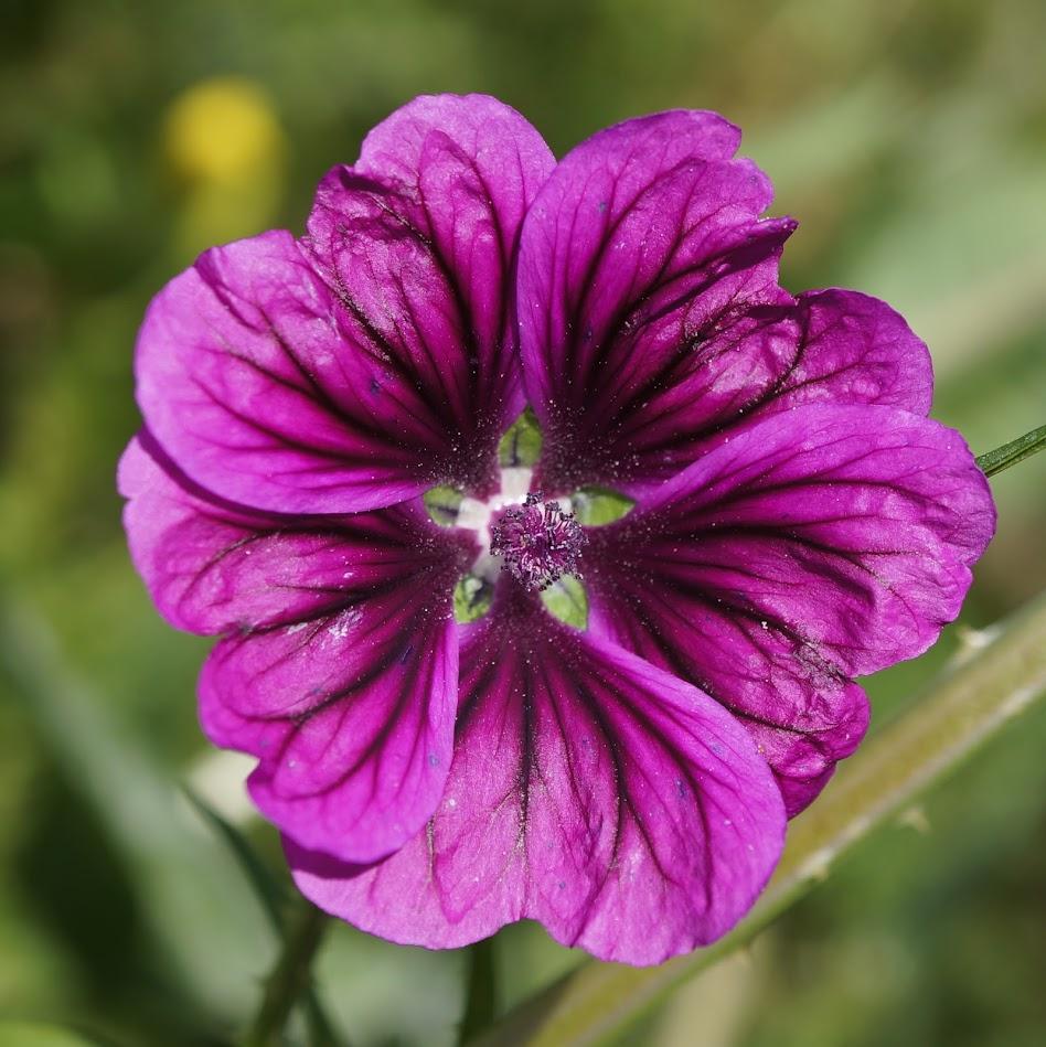 bloem f. rosea (Tuinkaasjeskruid)