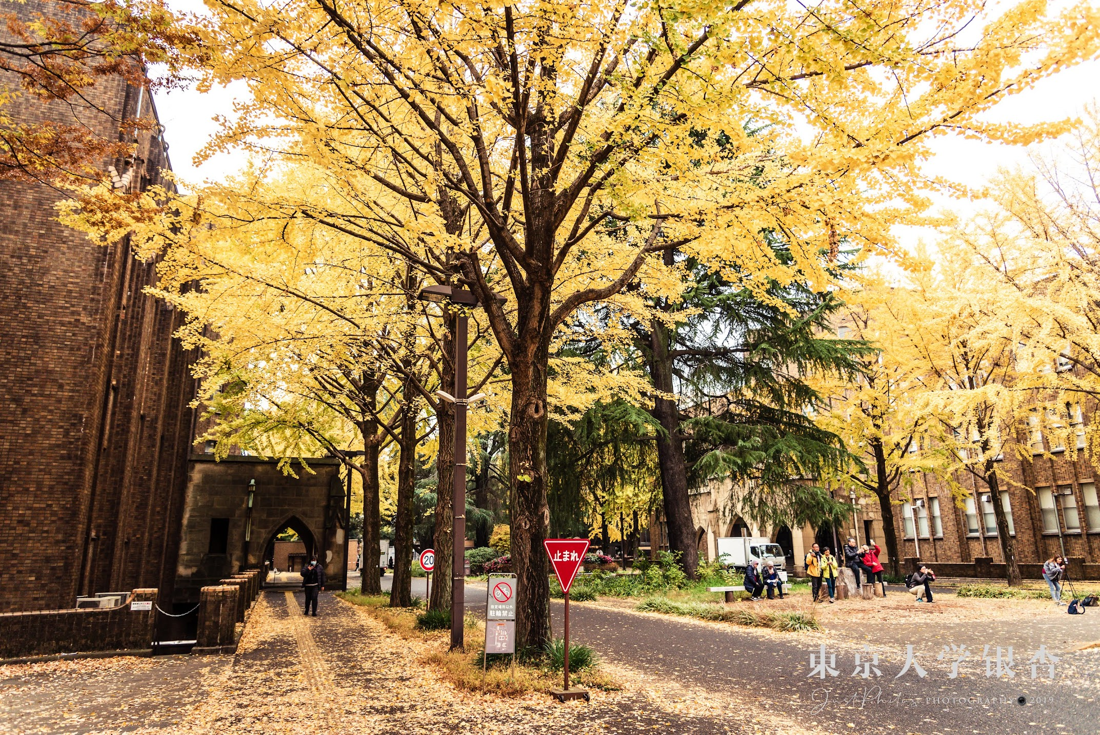 彌生校區在銀杏的季節處處都被金黃色的銀杏披上金黃色的植披。