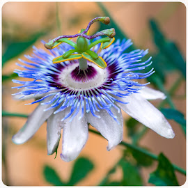 by Judy Rosanno - Flowers Single Flower ( passion flower )