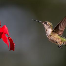 Just Humming Around by Mike Craig - Animals Birds