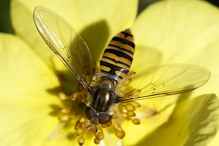Hover fly by Rick Allardice - Animals Insects & Spiders