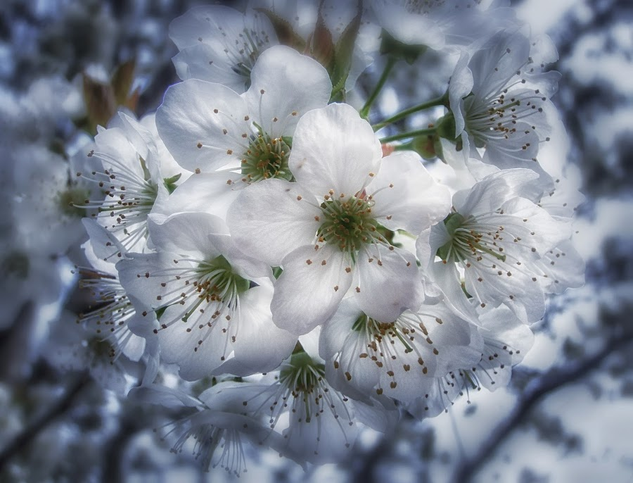 dream 2. by Mirela Korolija - Nature Up Close Flowers - 2011-2013