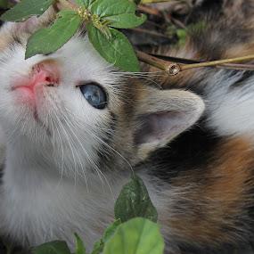 Blue Eyes by Adi Suda - Animals - Cats Portraits