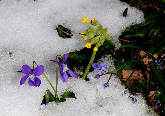 Dalla neve sboccia la primavera di benny48
