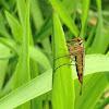 Female Scorpion Fly