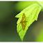 Dischocrocis punctiferalis 桃蛀螟