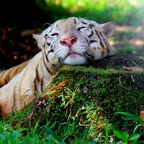 Lazy by Yohanes Arief Dewanto - Animals Lions, Tigers & Big Cats ( big cat, wild animal, wilderness, white tiger, wild life,  )
