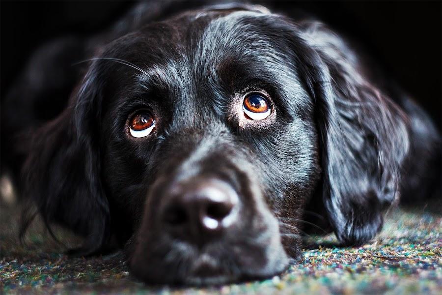 Waiting for mummy. by Jens Klappenecker-Dircks - Animals - Dogs Portraits ( bernese mountain dog x golden retriever, waiting for mummy, emma )