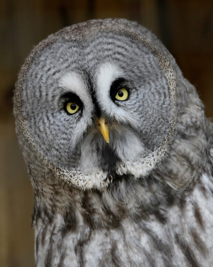 Grey Owl by Ralph Harvey - Animals Birds ( bird, owl, wildlife, ralph harvey, longleat )