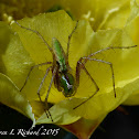 Green lynx spider (sub-adult)