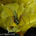 Green lynx spider (sub-adult)