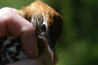 Photo: hermit thrush - looking at you!