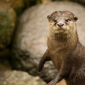 Oriental small-clawed otter by Karl Hilmarsson - Animals Other Mammals ( danmörk, sumarfrí, önnur dýr )