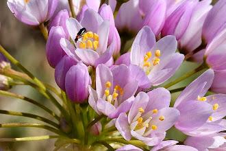 Photo: Allium roseum