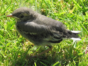 Photo: Pied wagtail fledgling 4 June 2015 © Pauline Popely 2015