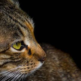 by Banie du Randt - Animals - Cats Portraits